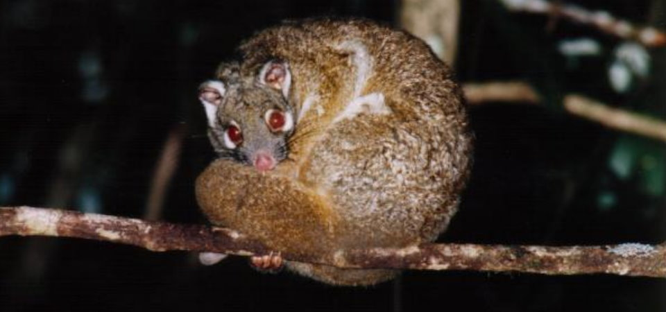Green Ringtail